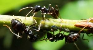 Тля, муравьи