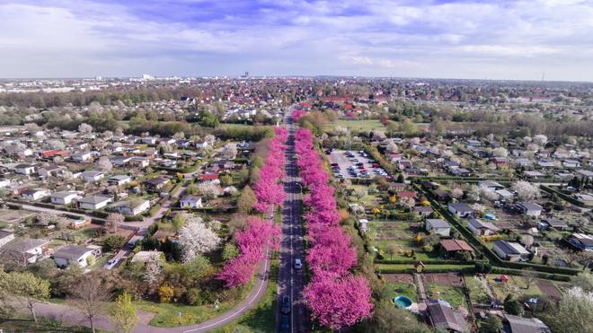 magdeburg-cherry-blossom