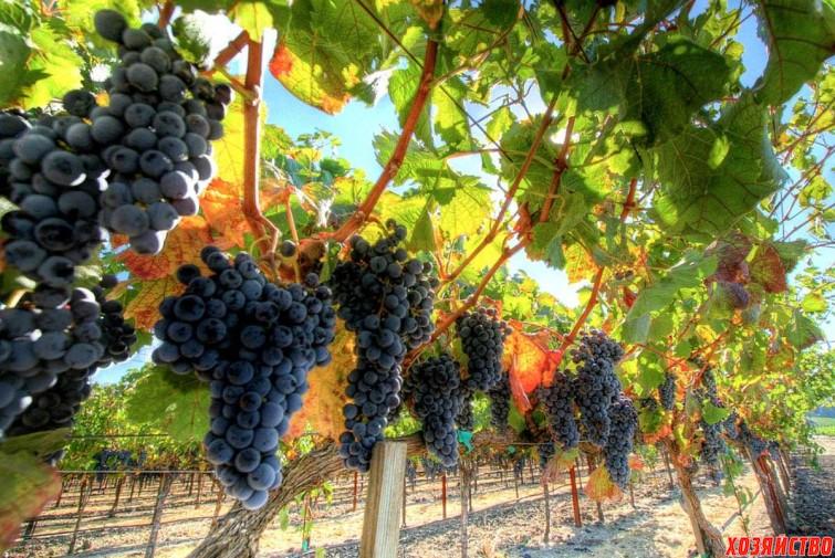 aromat-i-vkus-vinograda-_-vliyanie-uslovii_-proizrastaniya4