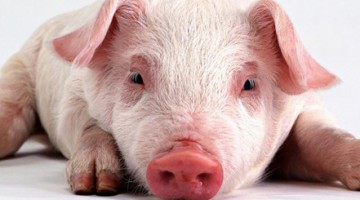 На Запоріжжі через африканську чуму знищили 4 тисячі свиней
