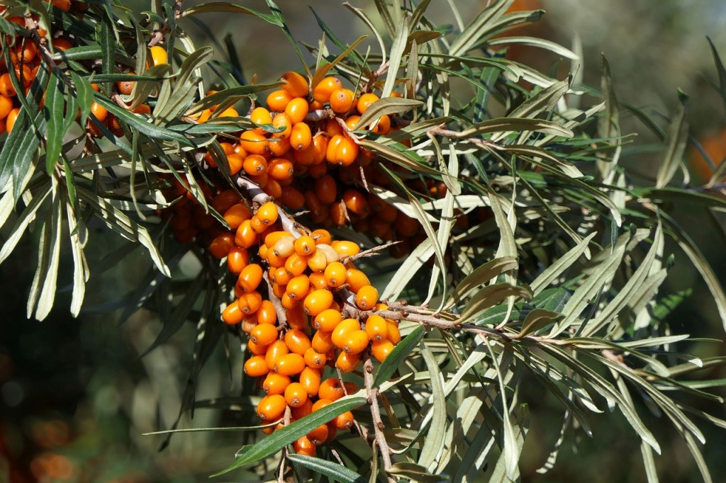 sea-buckthorn-3701975_1280
